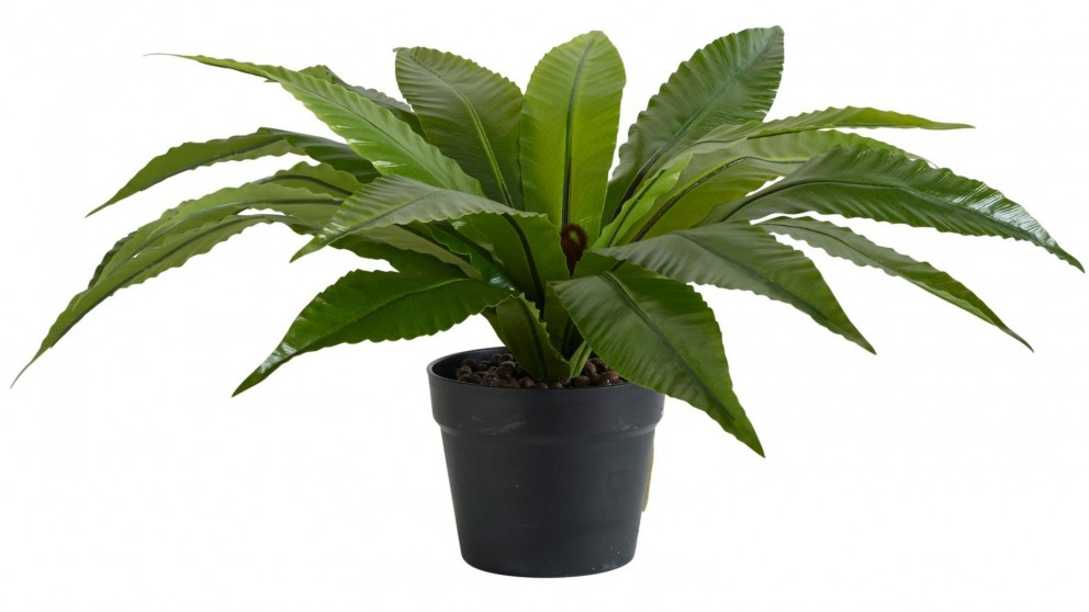 Bird's Nest Fern Potted Plant