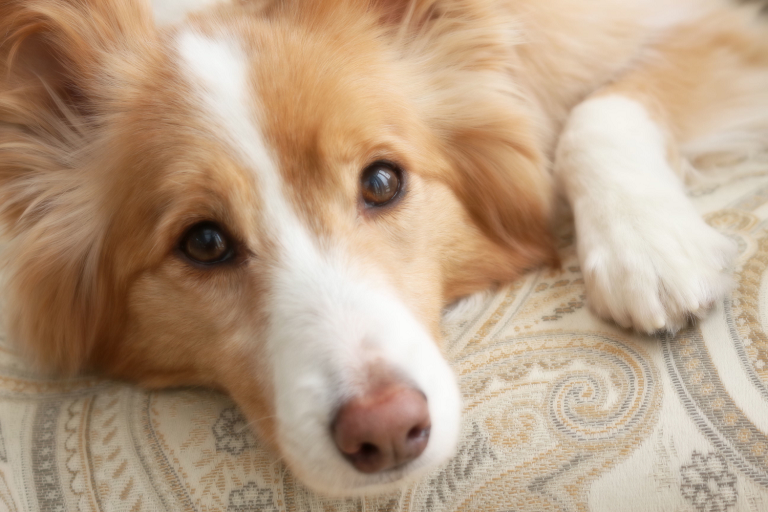 Soft focus image of a blonde border collie lying on a bed